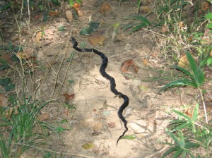 indigo snake at Steven's Creek